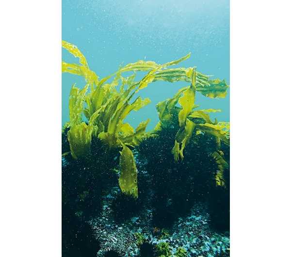 Meeresalgen-Komplex