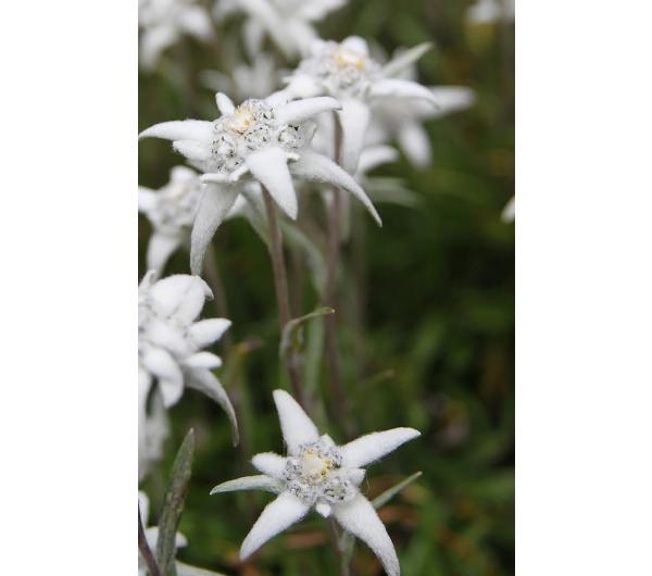 Edelweissextrakt
